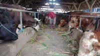 Daging Sapi Kurban dari Jokowi di Lebong Bengkulu Akan Diberi ke 600 KK