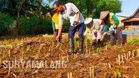 Kacang Tidak Lupa Kulitnya, Meskipun Dapat Uang Miliaran, Warga Desa Milyalder Tetap Bertani