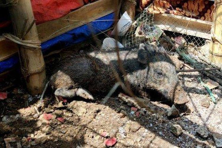 Polisi Beberkan Fakta Soal Babi Ngepet di Depok