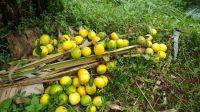 Dihajar Impor, Jeruk Petani Lembang Dibiarkan Membusuk di Kebun