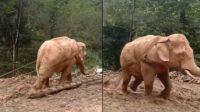 Ya Allah, Kasian Gajah Dipaksa Tarik Kayu Besar di Hutan